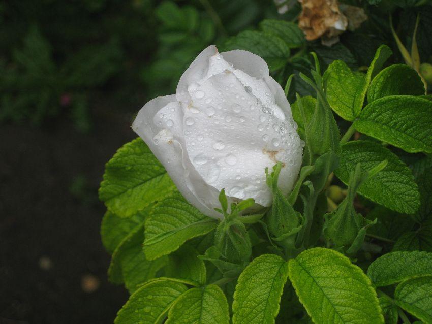 weiße_rose