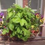 Ein Blumenkasten auf einem Fensterbrett mit Stiefmütterchen und Walderdbeeren