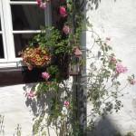Ein Strauch mit rosa Rosen