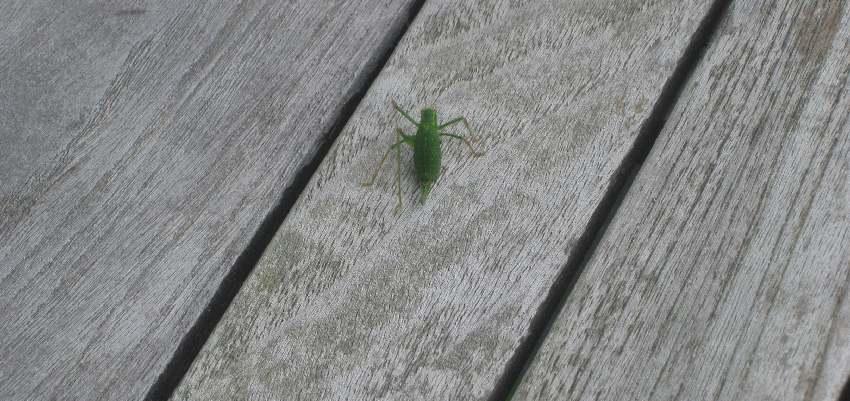 hellgrüne Heuschrecke auf einem Holztisch