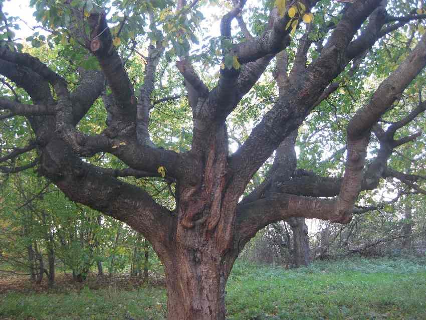 Verknorzter Stamm eines Baumes