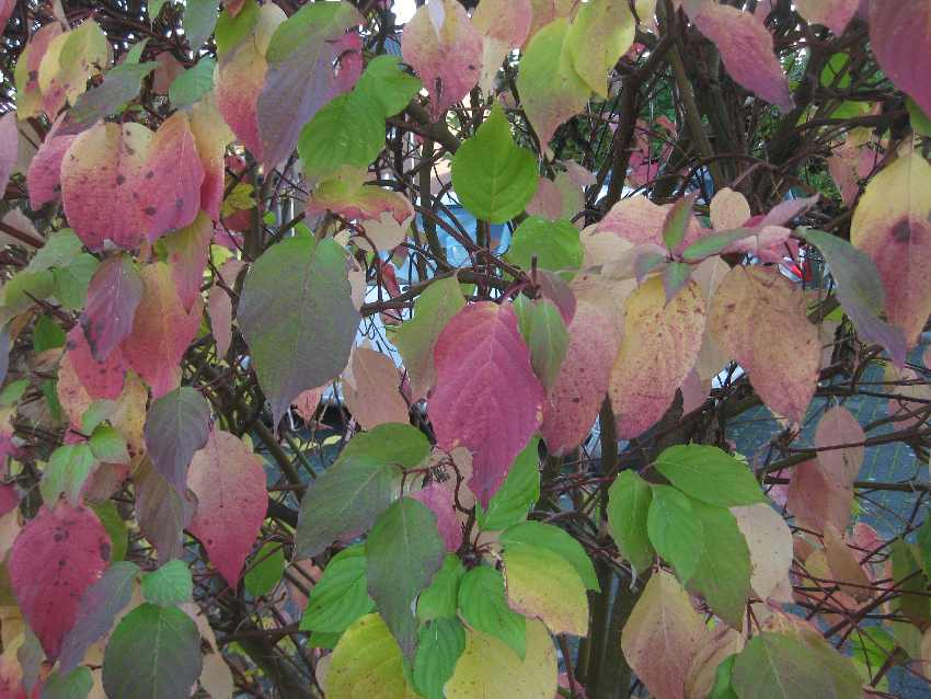 Rot-grün-bunte Blätter