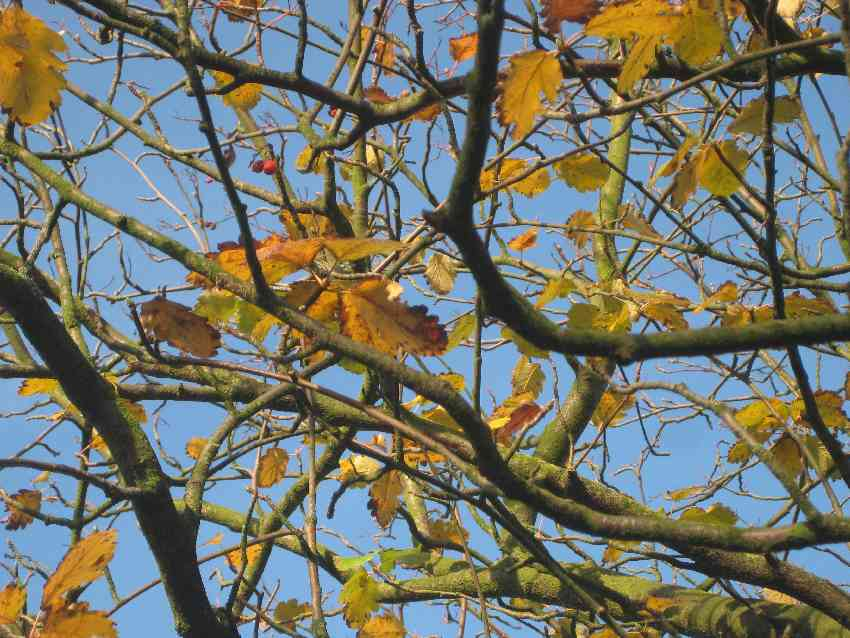 Ast mit gelben Blättern