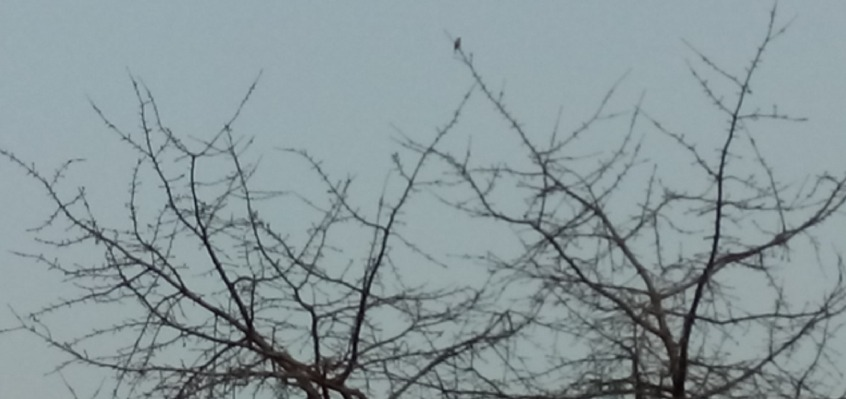 Vogel im Dämmerlicht in der Spitze einer noch unbelaubten Baumkrone
