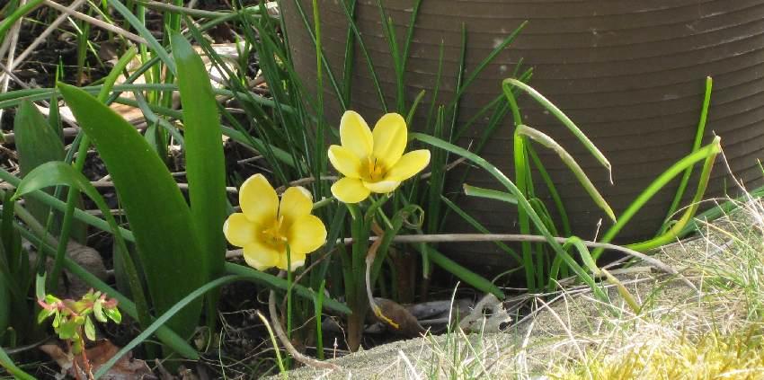 Zwei kleine gelbe Blümchen