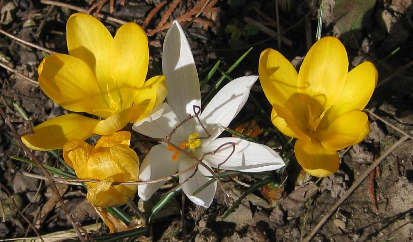 Gelbe und weiße Krokusse in unserem Garten