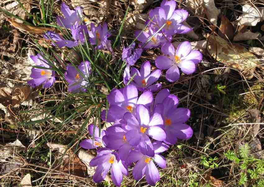 lila Krokusse in unserem Garten