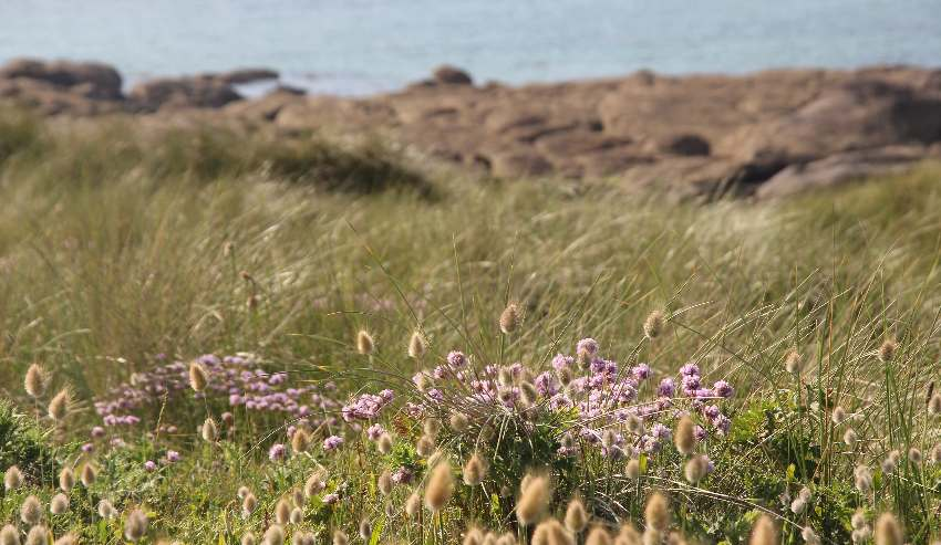 Strand-Grasnelke mit Felsen und Meer im Hintergrund