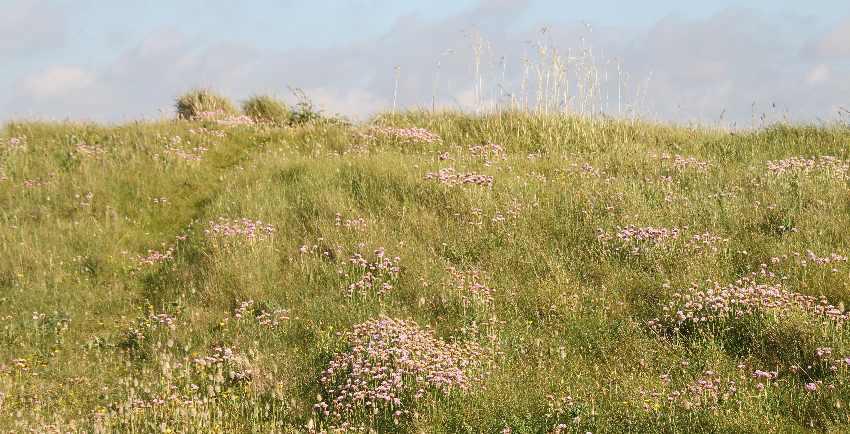 Hang einer Düne voller Büschel von rosa-blühenden Stand-Grasnelken
