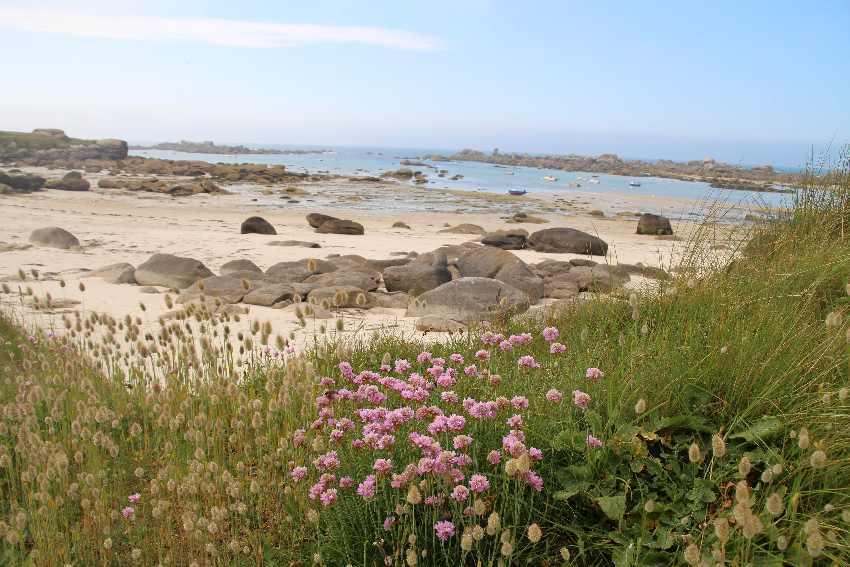 Stand-Grasnelke vor dem Strand bei Ebbe
