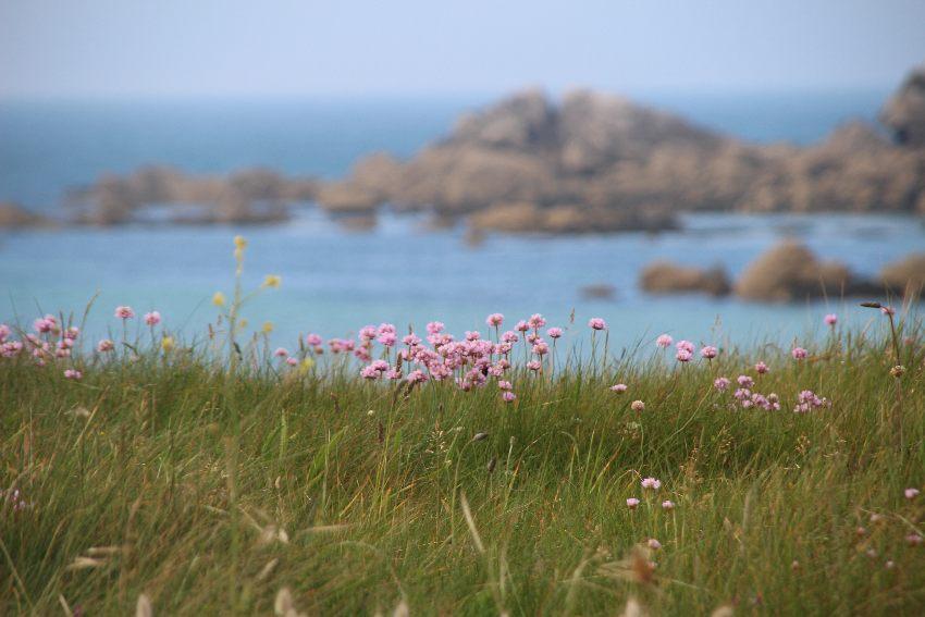 Strandgrasnelke mit Bucht und Felsen im Hintergrund