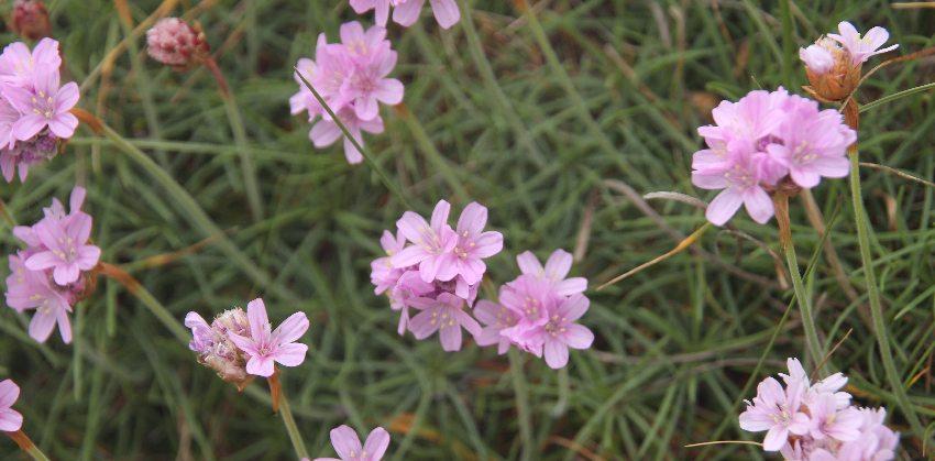 rosa Strandnelke