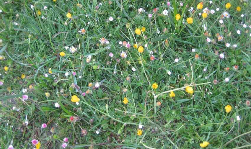 Gänseblümchen und Butterblumen auf einer Wiese