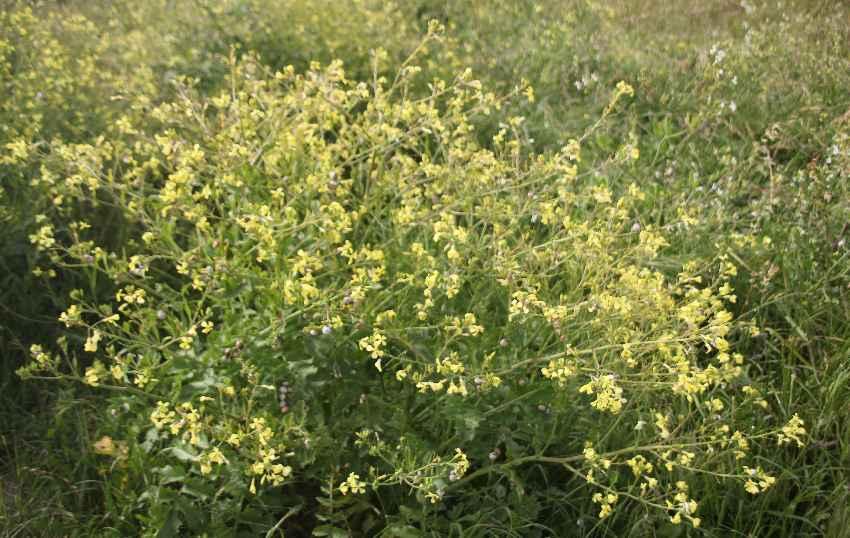 bretonische-flora-gelbe-blueten