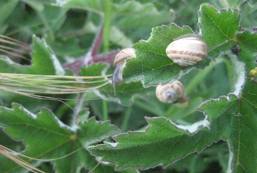 Großblättrige Grünpflanze, auf der mehrere Schnecken mit Häuschen sitzen
