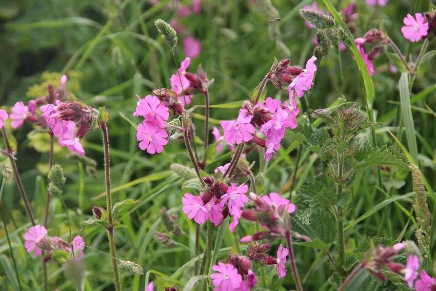bretonische-flora-rosa-bluemchen