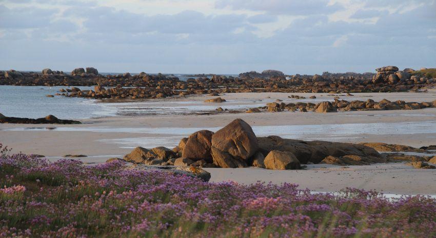 Strandnelken bei Ebbe an der mit Felsen übersähten Côte des légendes im Finistère