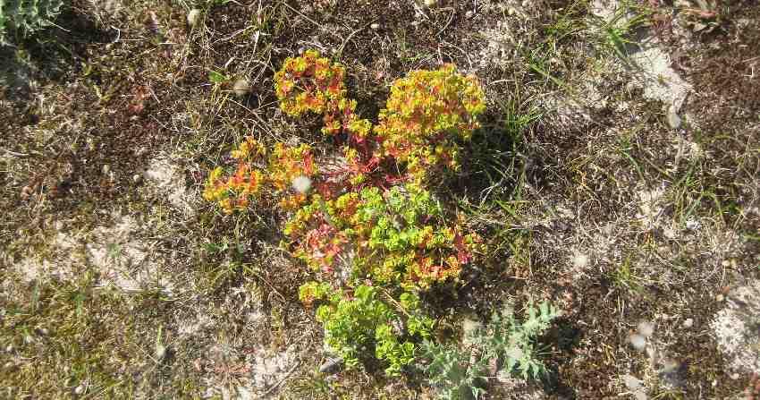 grüne Pflanze, die sich gerade gelb und rot verfärbt als Blüte