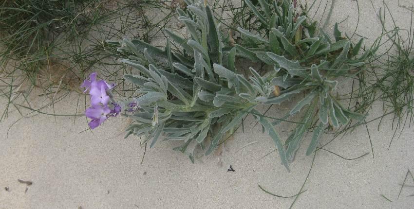 bretonische-flora-lila-blume