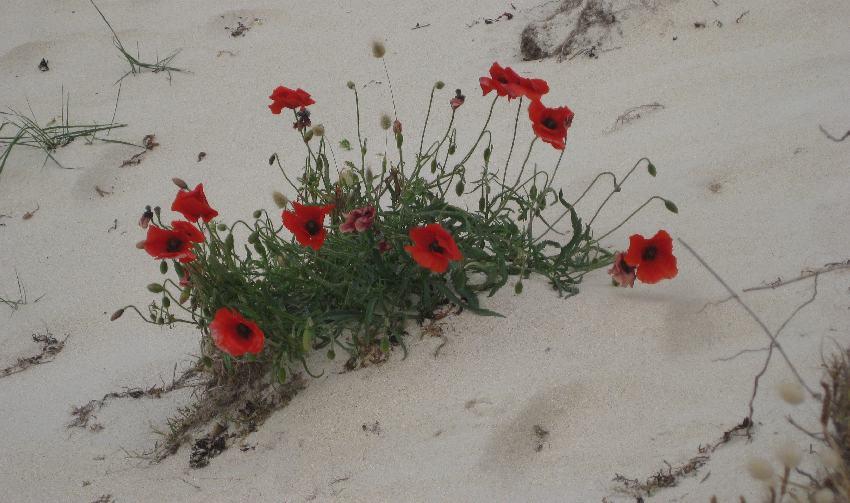 Büschel blühender roter Mohn mitten im Sand der Dünen der côte des légendes