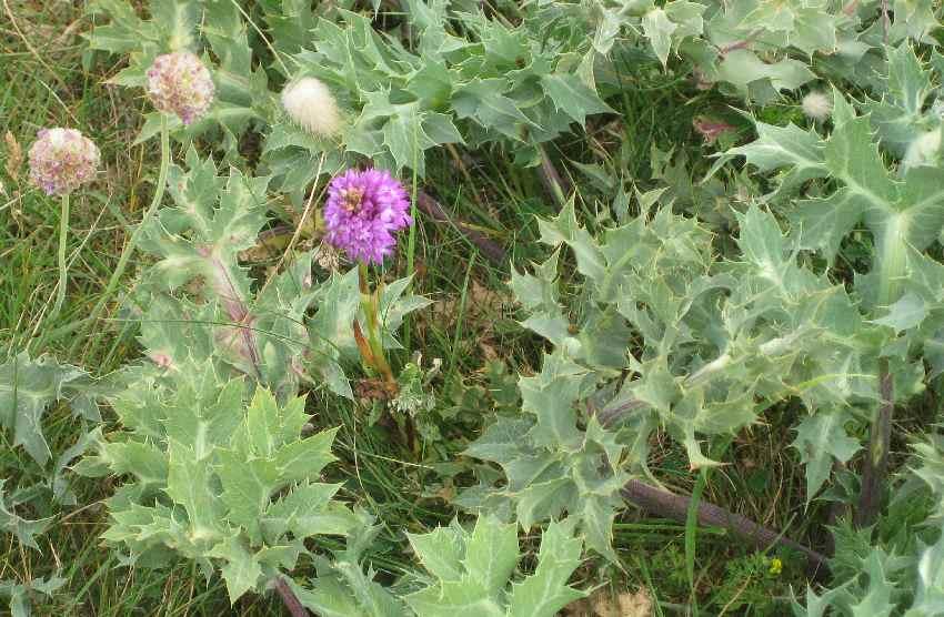 blühende Stranddistel (die Blüte ist klein, rund und lila)