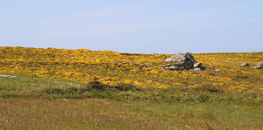 Gelb blühender Ginster und Heidekraut an den Hänger der Pointe du Van