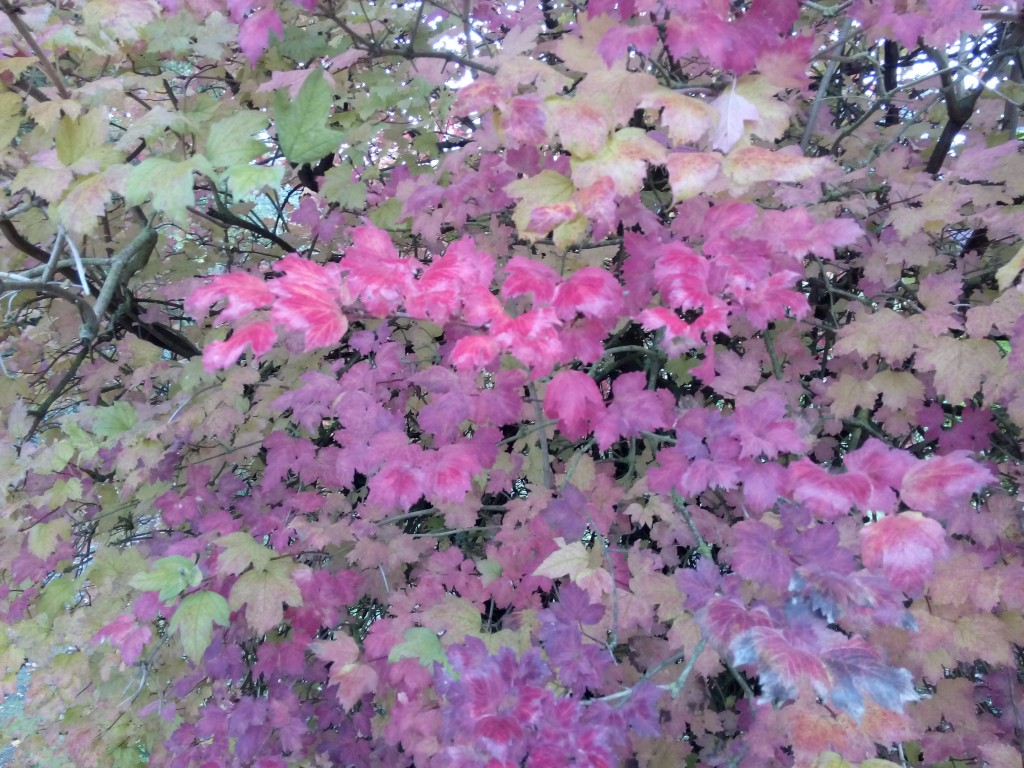 Busch mit knallroten Blättern