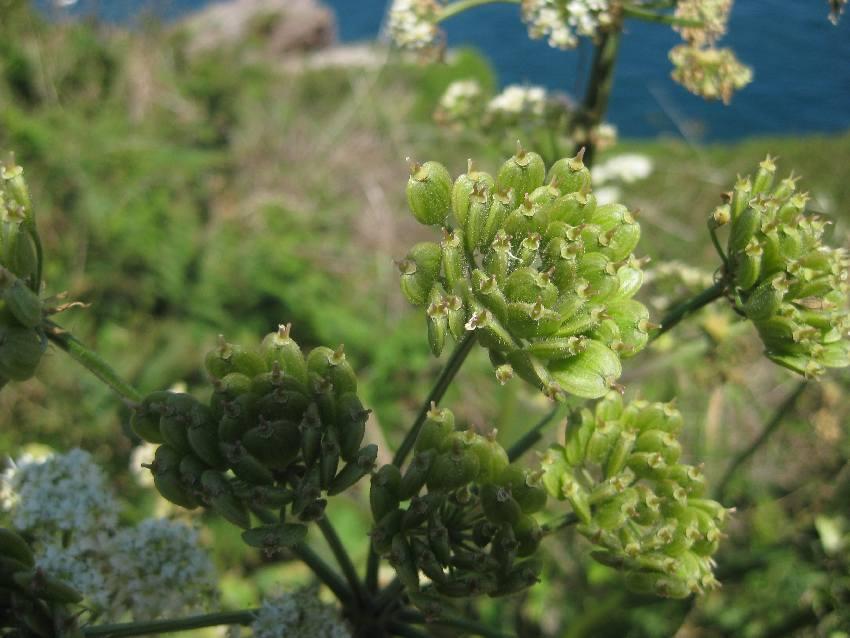 grüner Blütenstand am Cap Fréhel im Nordosten der Bretagne