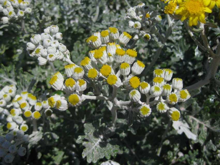 weiß-gelbe Blüten am Cap Fréhel in der Bretagne
