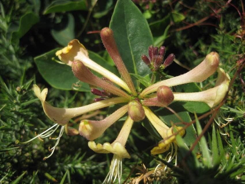 Gelbe Fruchstände einer Blüte in der Küstenlandschaft am Cap Fréhel