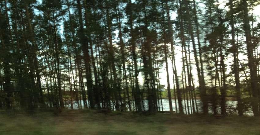 See hinter Nadelbäumen in Mecklenburg-Vorpommern