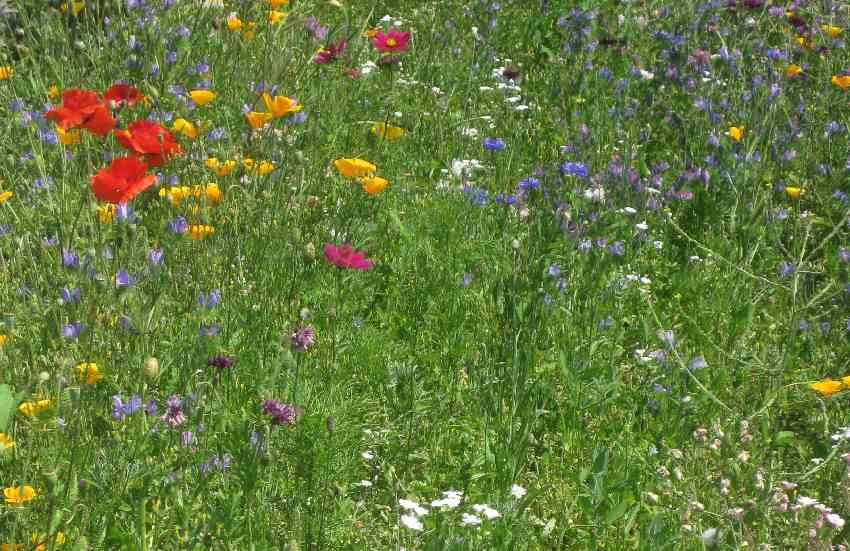 bunte Blütenwiese in Sainte-Anne-d'Auray