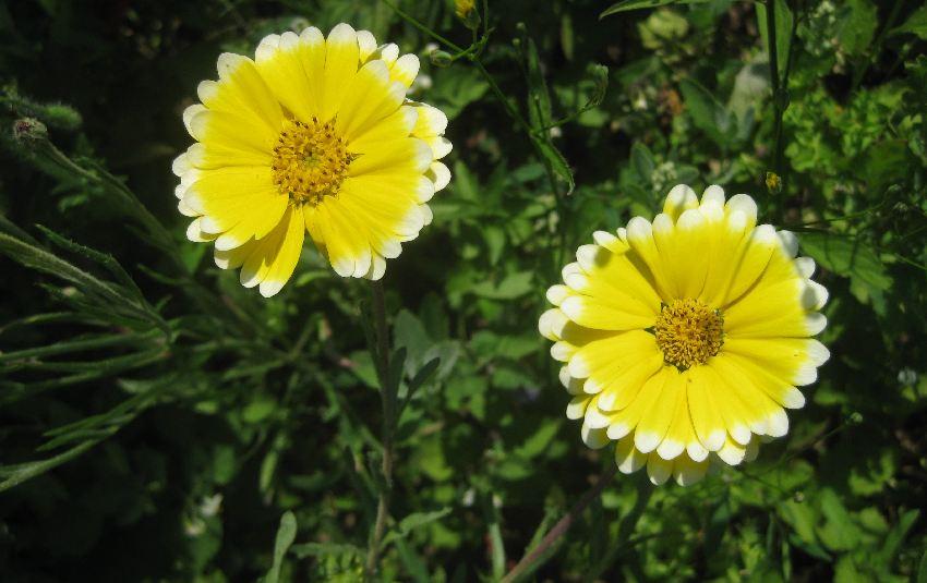 gelbe Blüten mit weißem Rand in Sainte-Anne-d'Auray