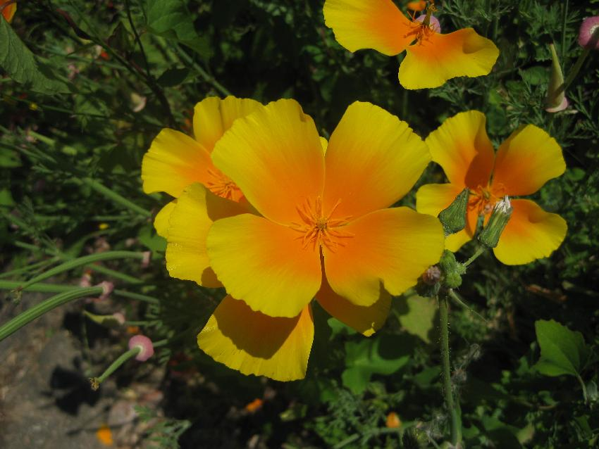 leuchtend gelb-orangene Blüten in Sainte-Anne-d'Auray