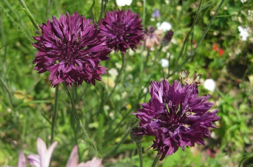 dunkle lila Blüten in Sainte-Anne-d'Auray