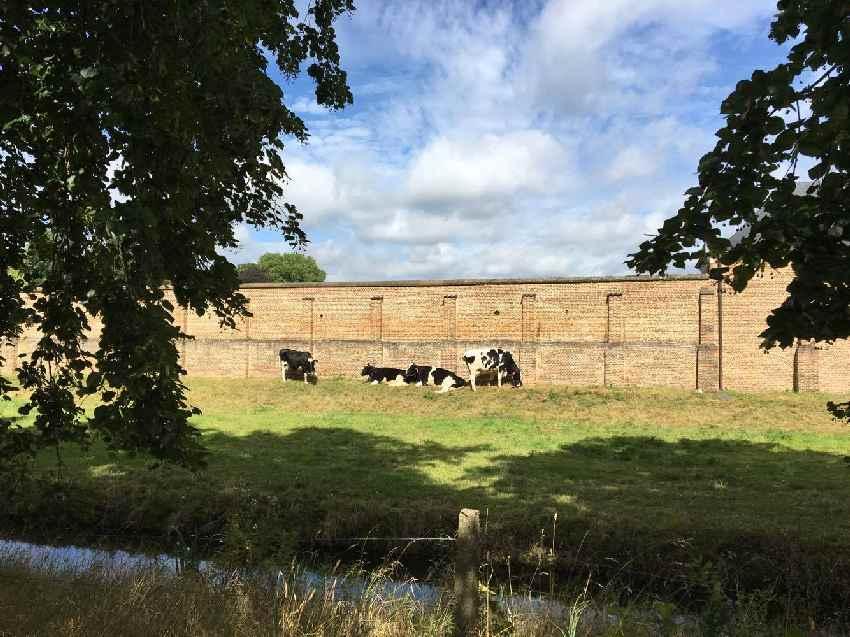 Kühe vor der Mauer der Abtei Tongerlo in Flandern