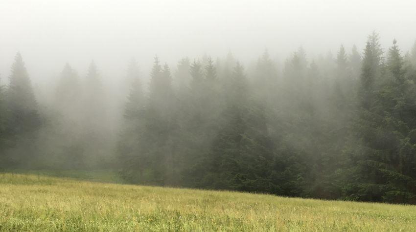Nebel vor Tannen im Schwarzwald