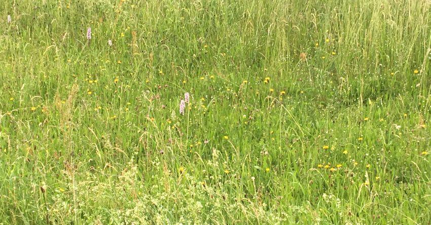 Bild von Orchideen auf einer wilden Schwarzwaldwiese bei einer Kräuterwanderung