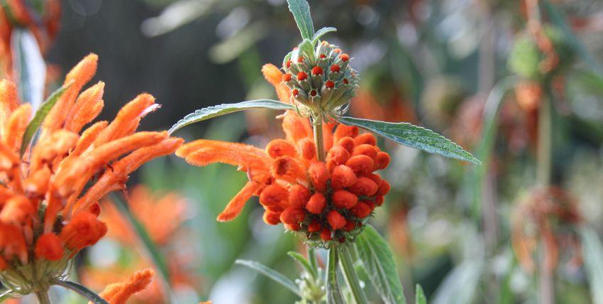 orange Blüte im Jardin exotique in Roscoff, Finistère, Bretagne