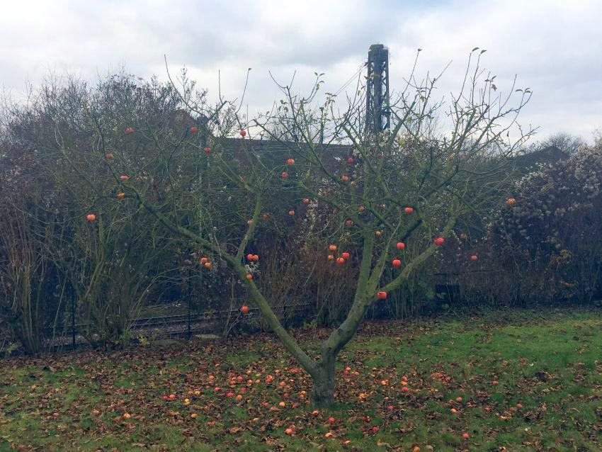 Apfelbaum im Winter ohne Laub, an dem noch rote Äpfel hängen
