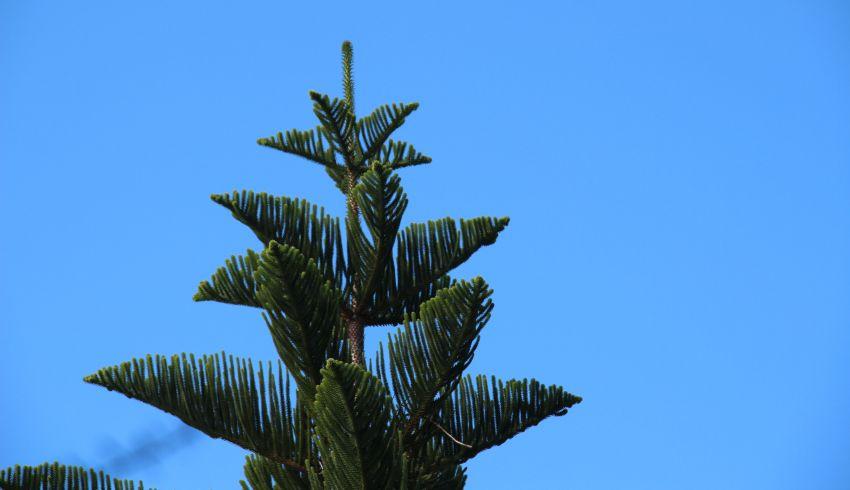 Nadelbaum im Jardin botanique in Roscoff