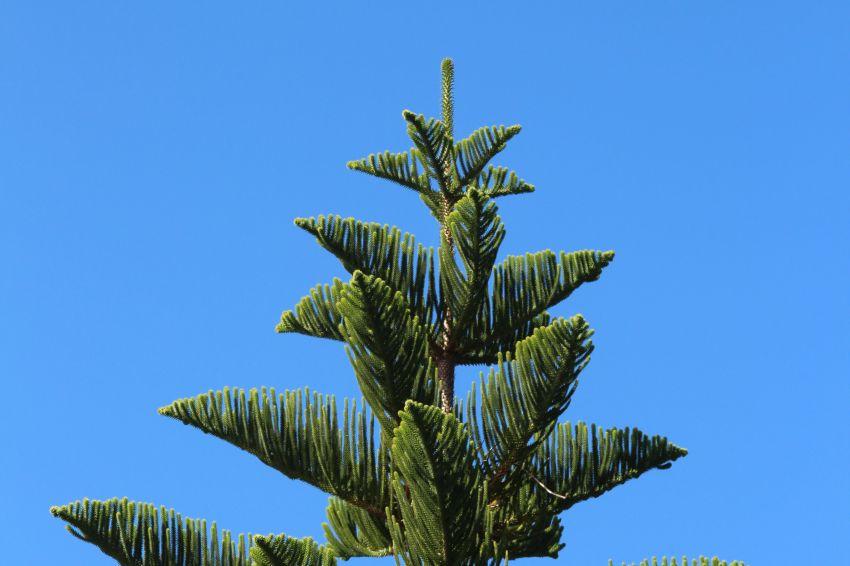 Nadelbaum im botanischen Garten in Roscoff